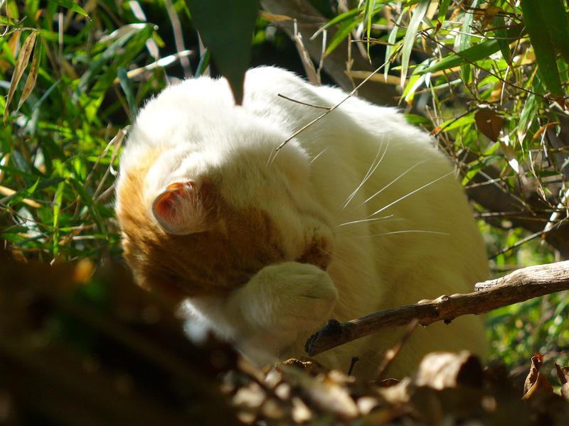 茂みで毛づくろいする白茶猫1