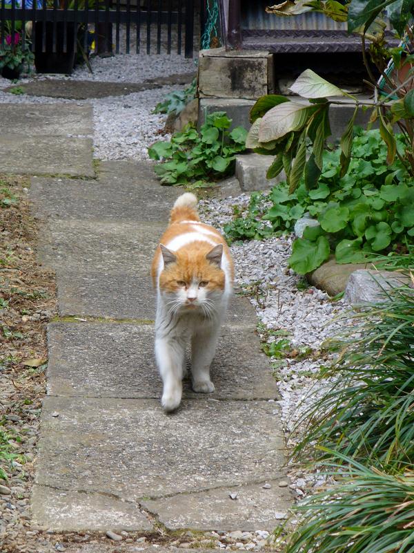 再登場した茶白猫2