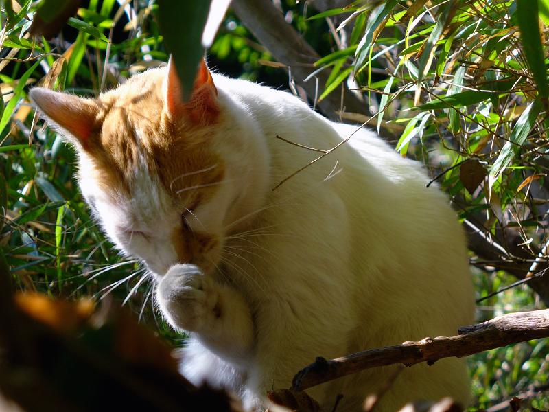 茂みで毛づくろいする白茶猫2