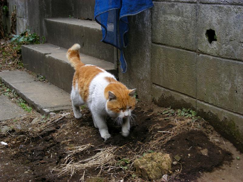 再登場した茶白猫3