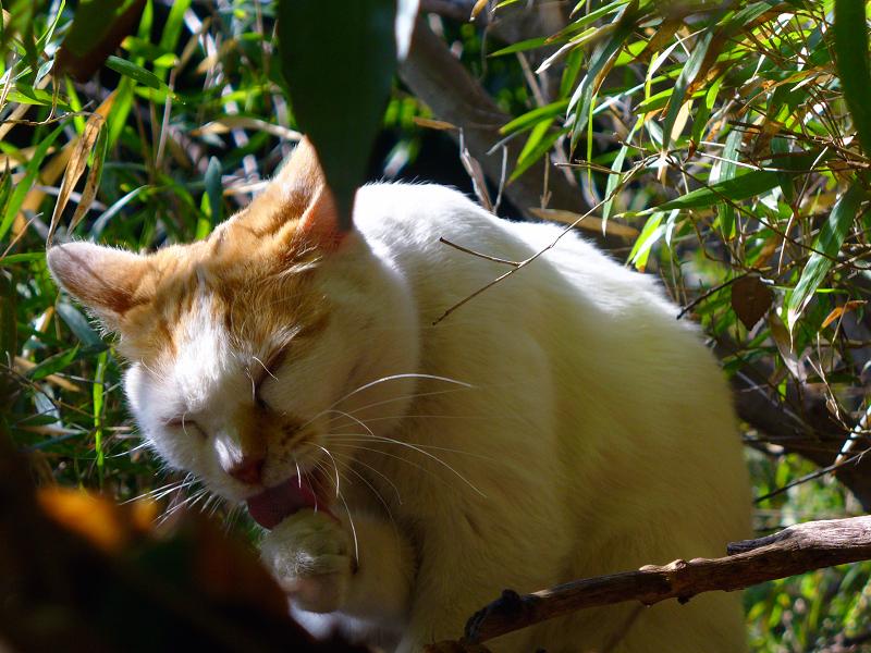茂みで毛づくろいする白茶猫3