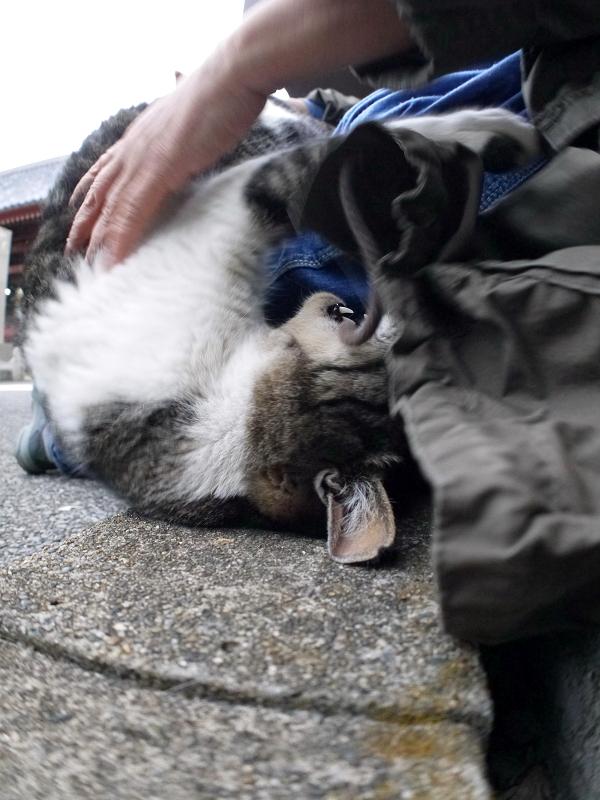 コートの紐で遊ぶキジ白猫1