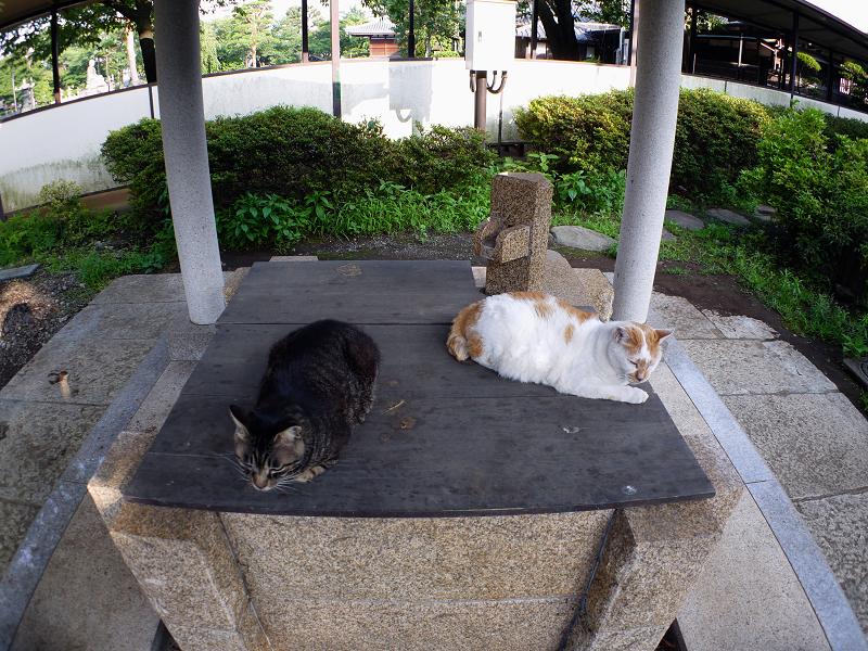 井戸と白茶猫1
