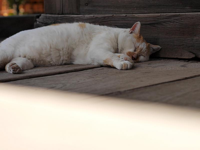 濡れ縁でうたた寝の白茶猫1