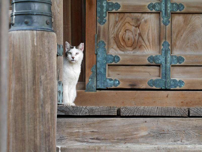 お堂前から見ていた白キジ猫