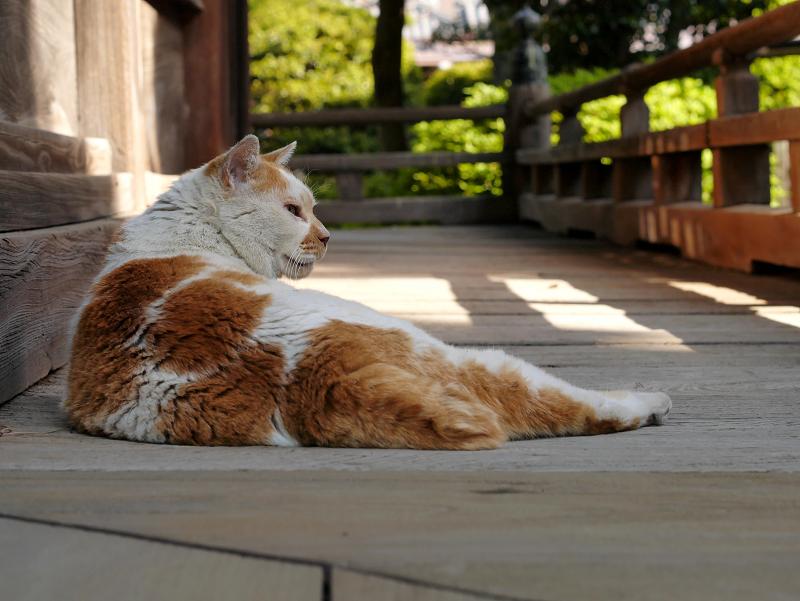 濡れ縁でうたた寝の白茶猫2
