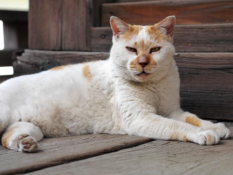 濡れ縁でうたた寝の白茶猫3