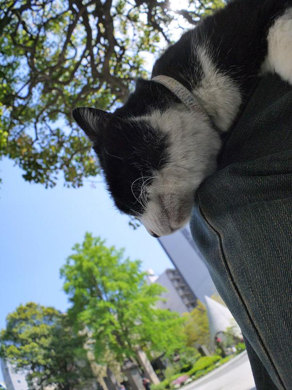 膝で垂れてる黒白猫3