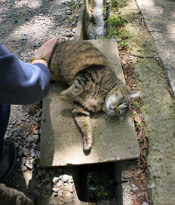 側溝足場板でムニュっとするキジトラ猫1