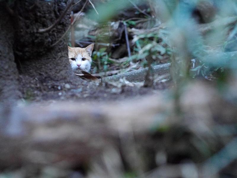 木の陰から見ている茶白猫1