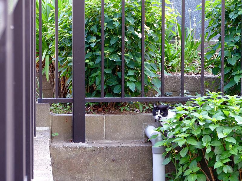 柵の前を歩く黒白猫1