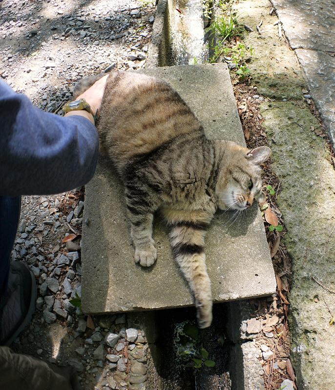 側溝足場板でムニュっとするキジトラ猫2