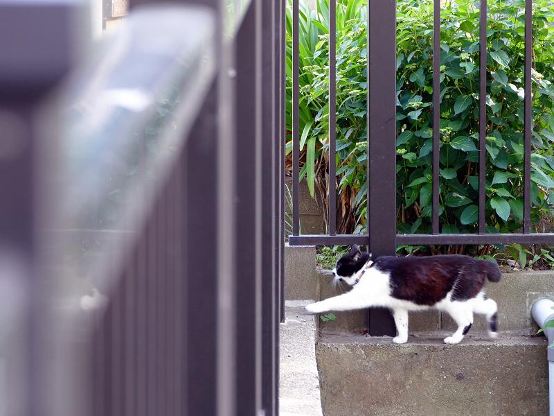 柵の前を歩く黒白猫2