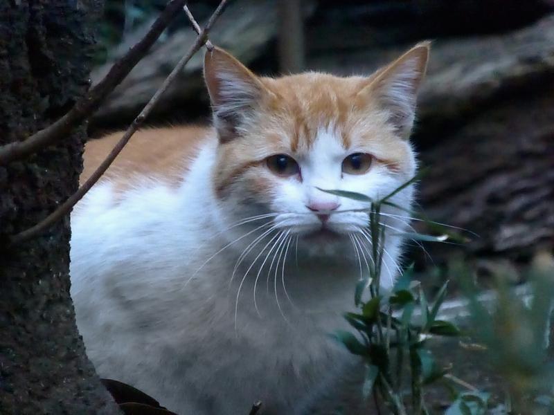 木の陰から見ている茶白猫2
