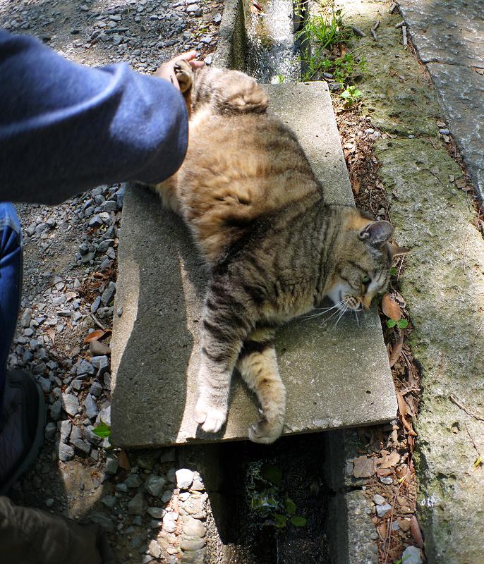 側溝足場板でムニュっとするキジトラ猫3