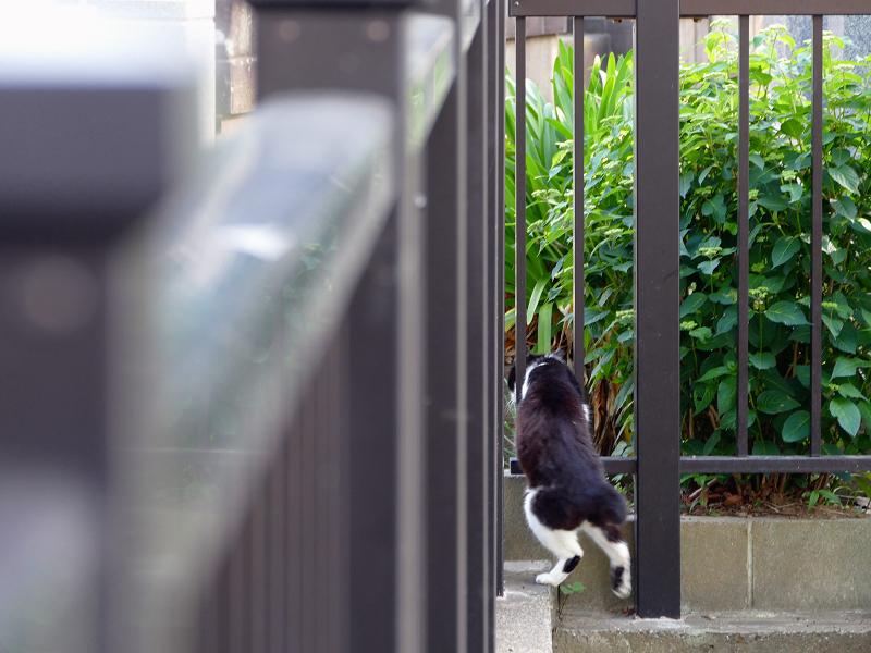 柵の前を歩く黒白猫3