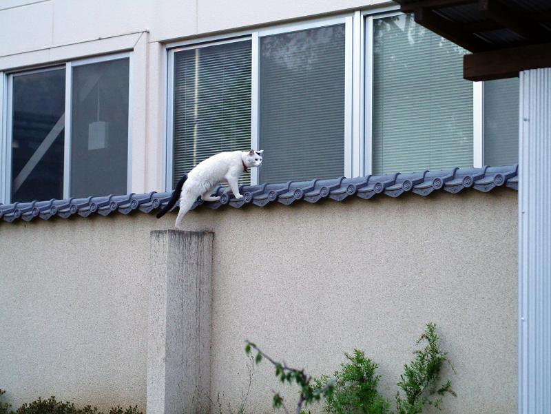 塀の上を歩く白黒猫1