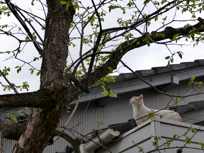 庇から屋根に上がった白茶猫1