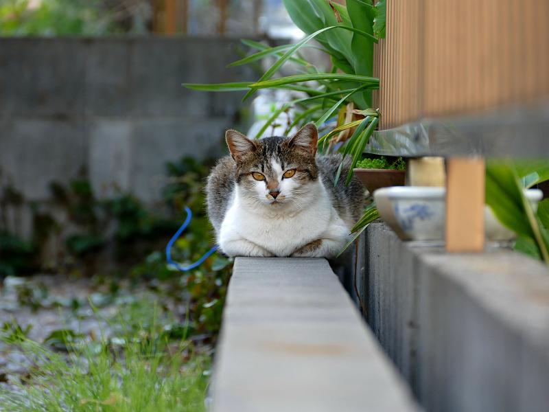 ブロック塀とキジ白猫
