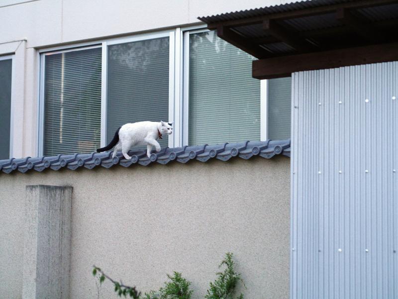 塀の上を歩く白黒猫2