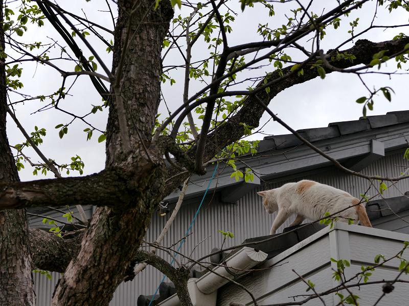庇から屋根に上がった白茶猫2