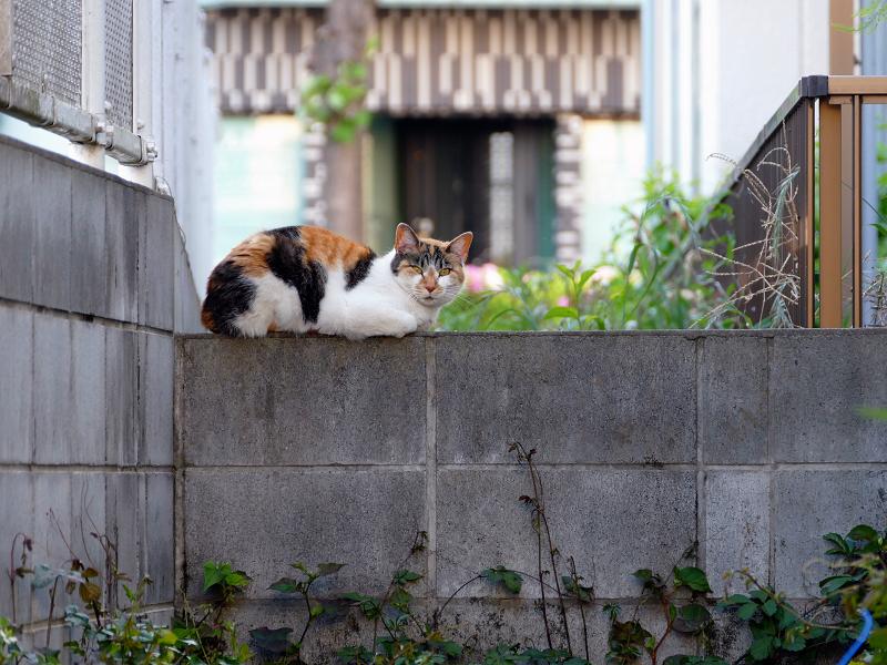 ブロック塀と三毛猫