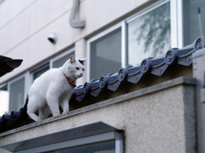 塀の上を歩く白黒猫3