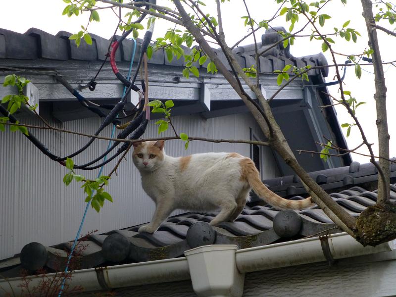 庇から屋根に上がった白茶猫3