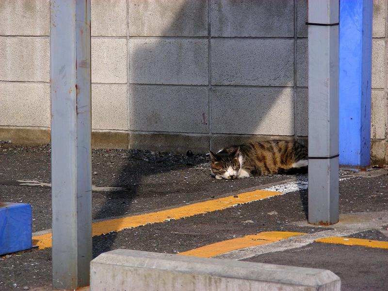 駐車場とキジ白猫1