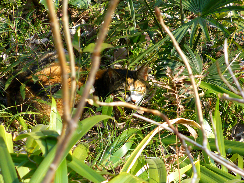 木の根元茂みの三毛猫2