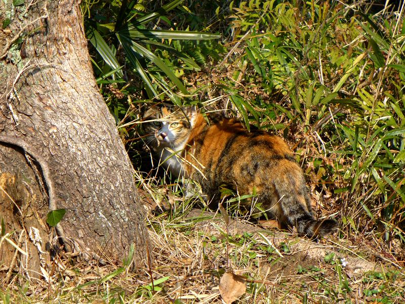 木の根元茂みの三毛猫1