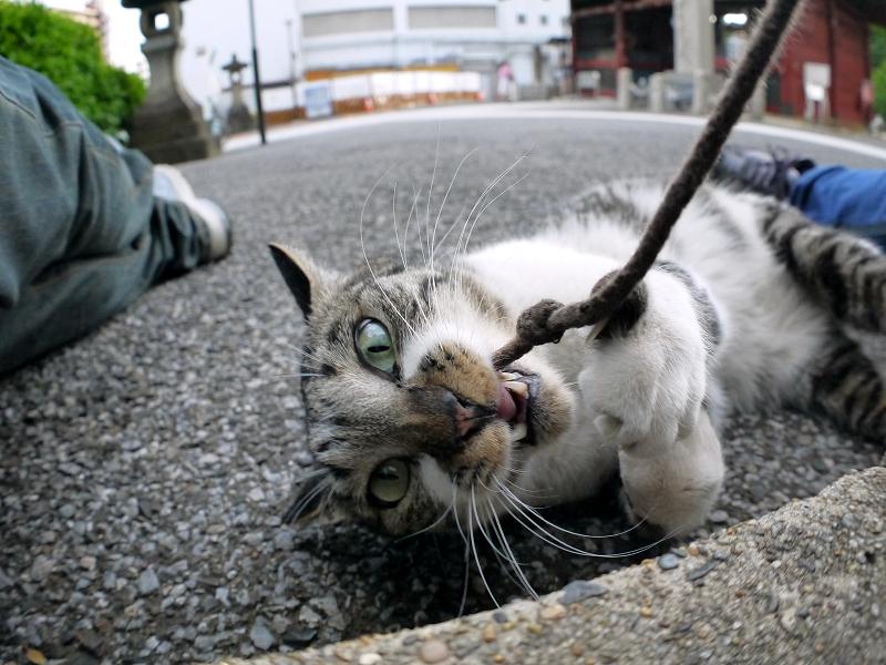 コートのコードで遊ぶキジ白猫2