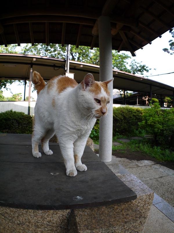 井戸の蓋の上の茶白猫2