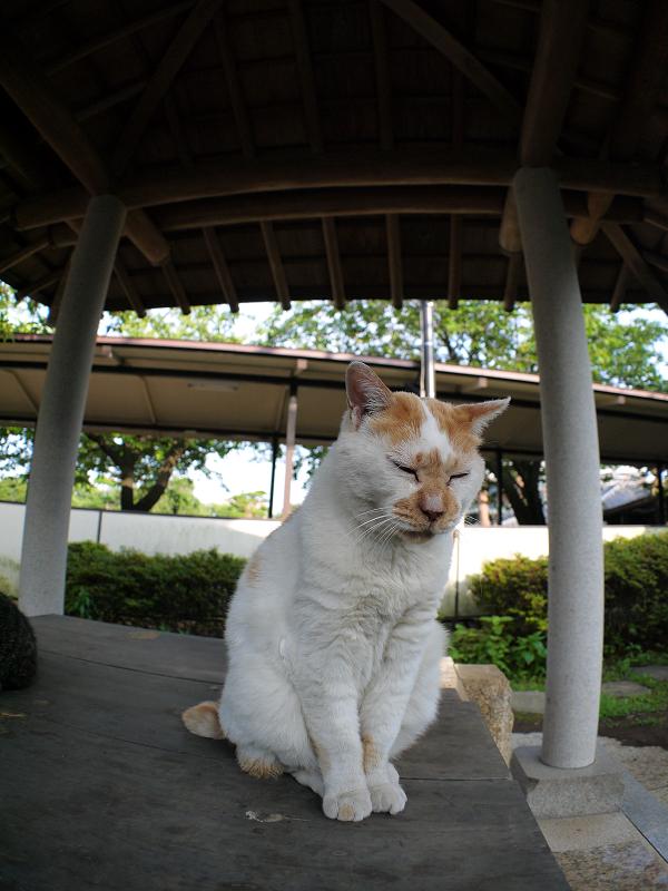 井戸の蓋の上の茶白猫3