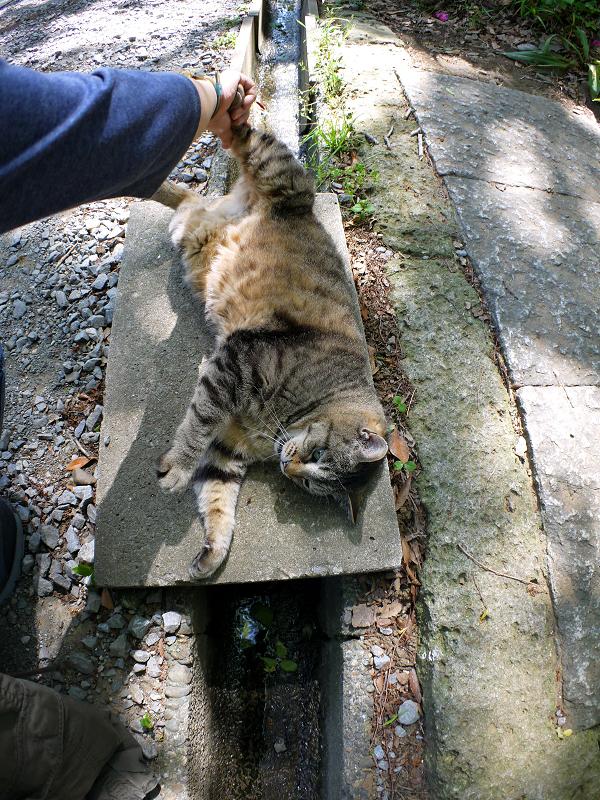 側溝の上で転がるキジトラ猫1
