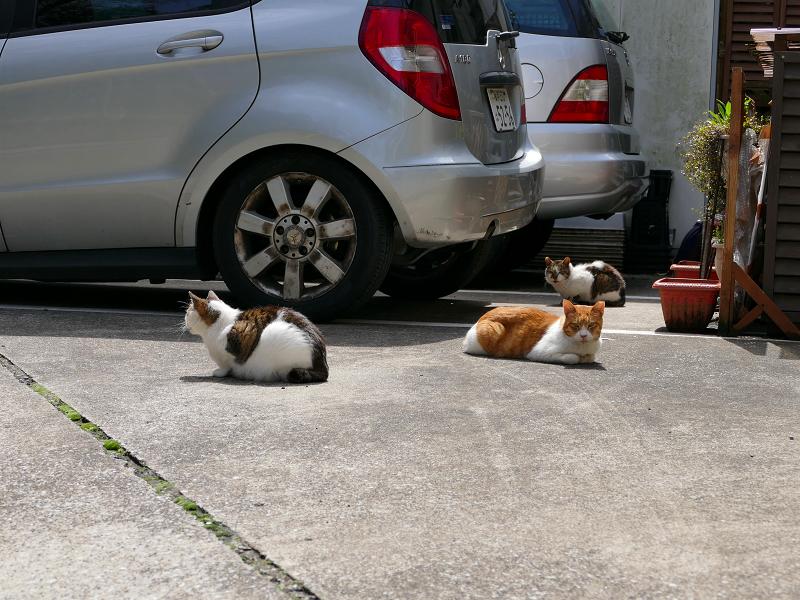お店前駐車場の猫たち1