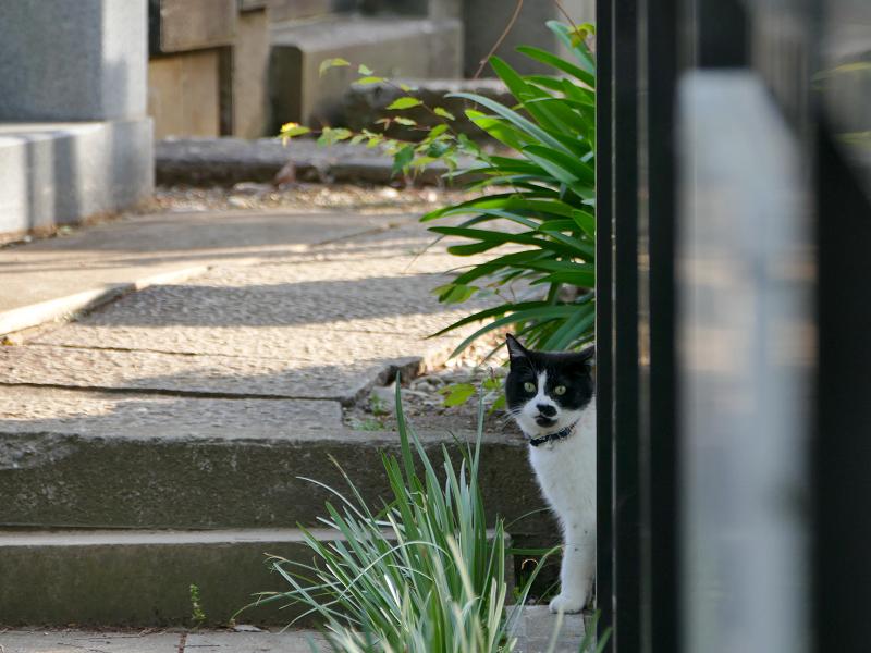 柵の影の黒白猫1