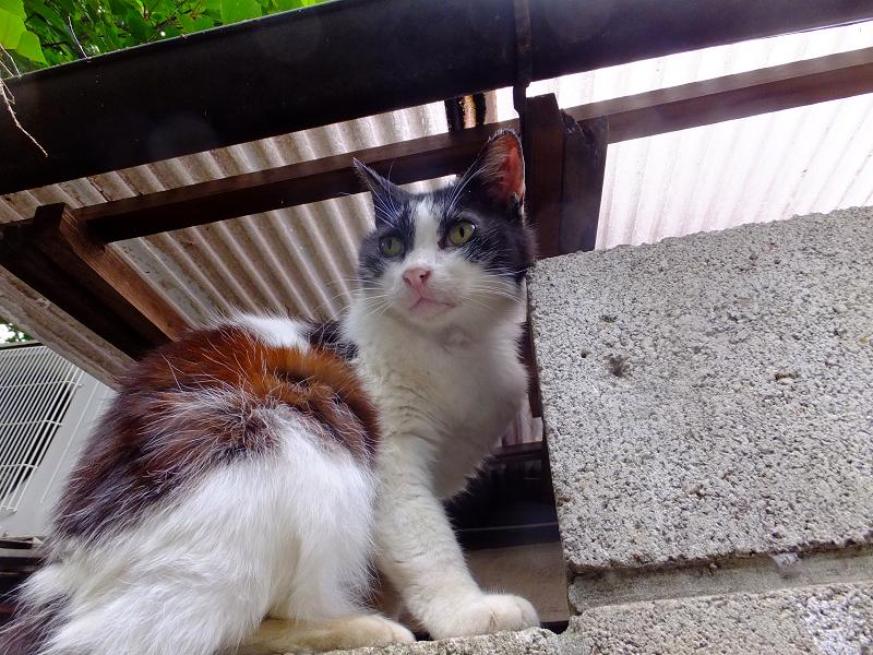 ブロック塀と黒白猫