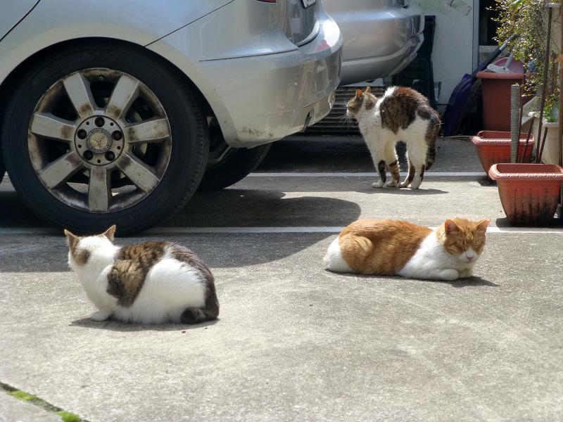 お店前駐車場の猫たち2