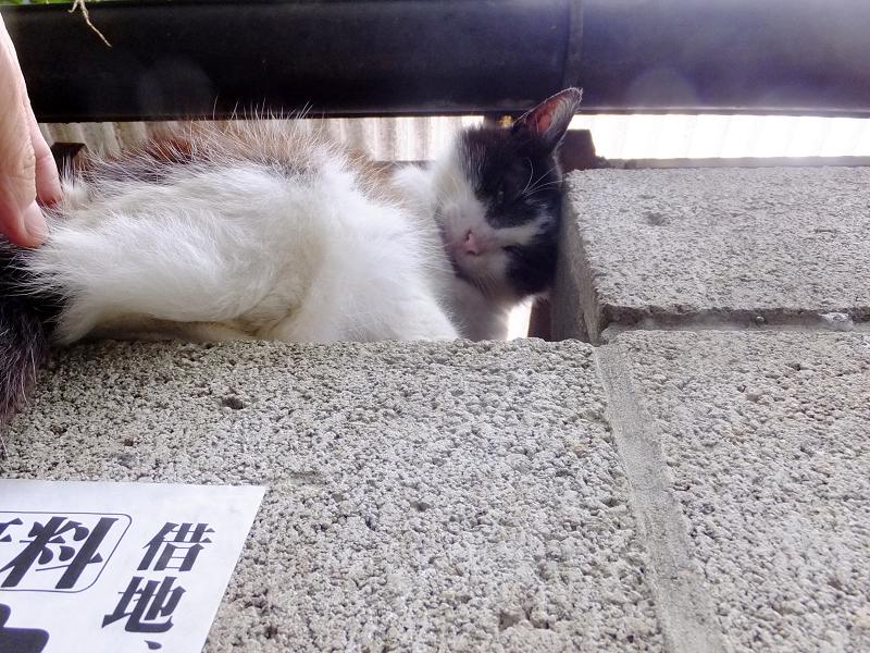 ブロック塀と黒白猫2
