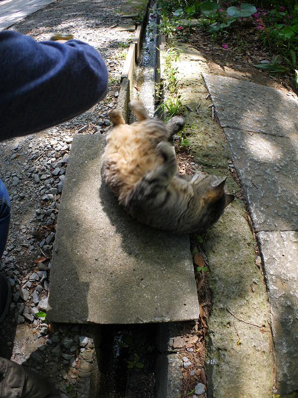 側溝の上で転がるキジトラ猫3