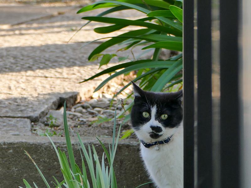 柵の影の黒白猫3