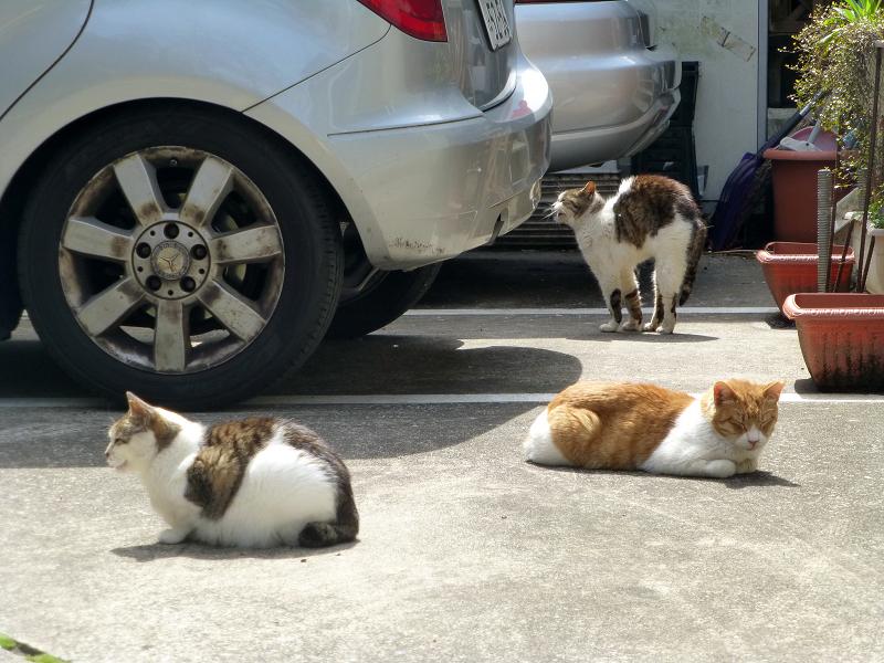お店前駐車場の猫たち3