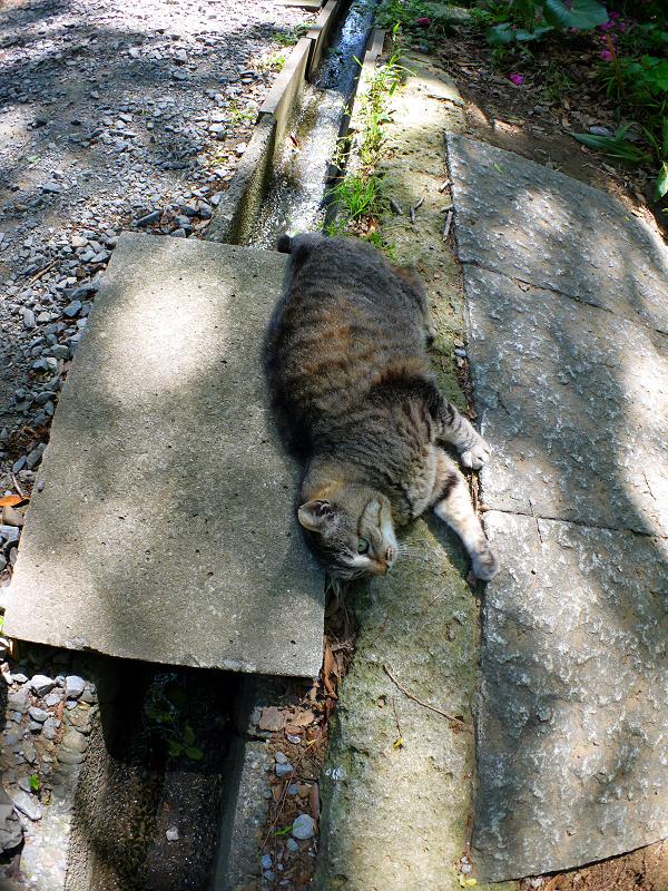 側溝の上で転がるキジトラ猫4
