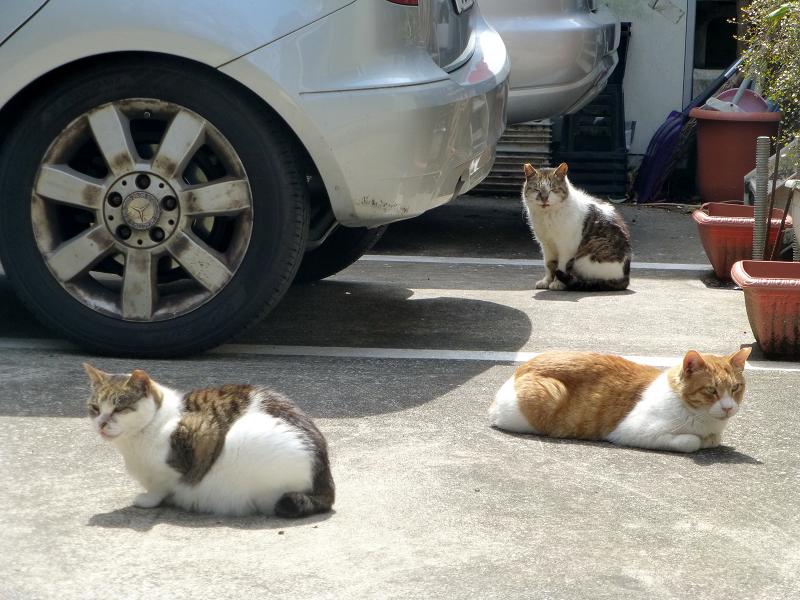 お店前駐車場の猫たち4