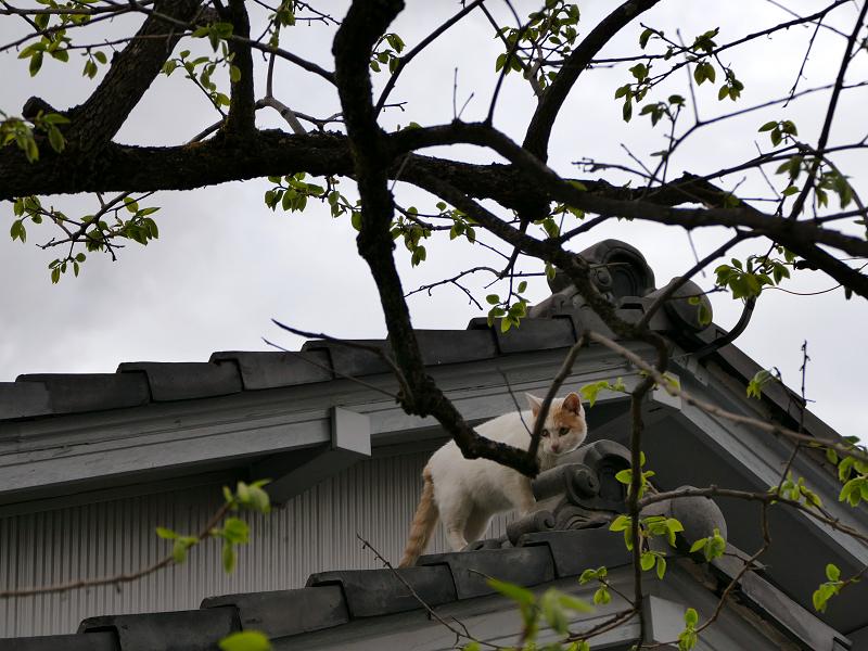 大屋根に登る白茶猫1