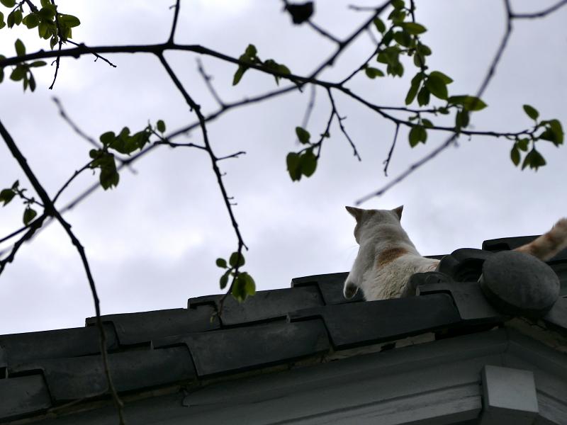 大屋根に登る白茶猫2