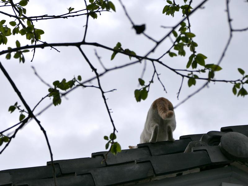 大屋根に登る白茶猫3
