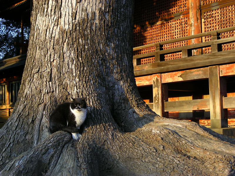 神社神木と黒白猫1