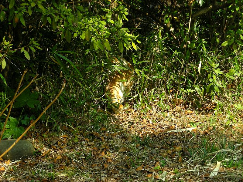 茂みの茶白猫1